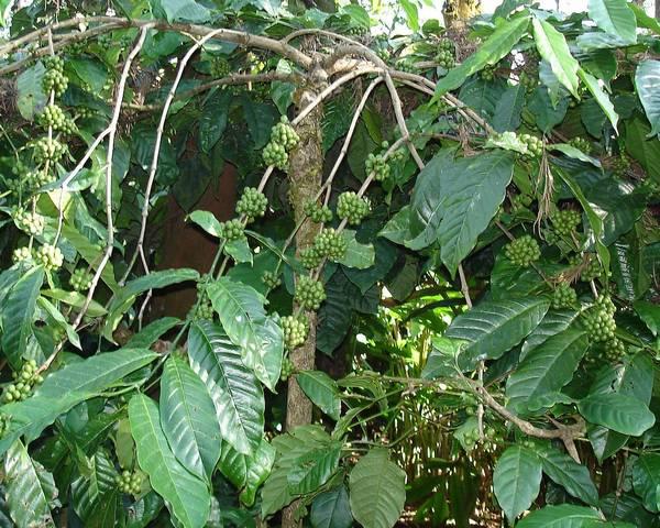 Кофе конголезский (робуста) фото (лат. Coffea canephora, син. Coffea robusta)
