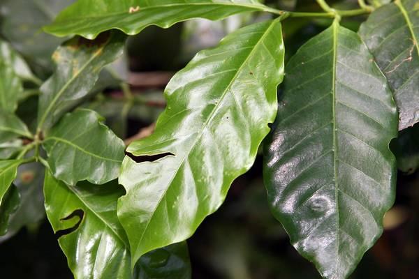 Листья арабики фото (лат. Coffea arabica)