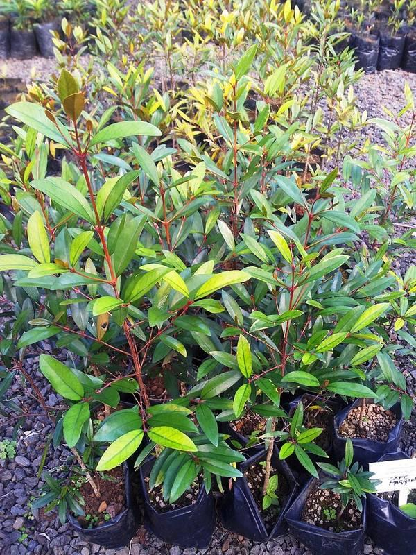 Ростки кофейного дерева Coffea myrtifolia фото