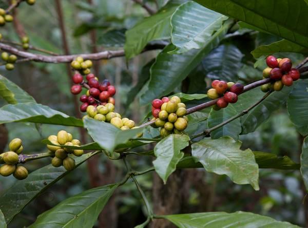 Ягоды камерунского кофе фото (лат. Coffea charrieriana)