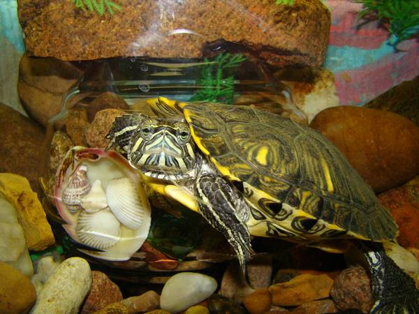 Аквариум для красноухой черепахи фото (лат. Trachemys scripta)