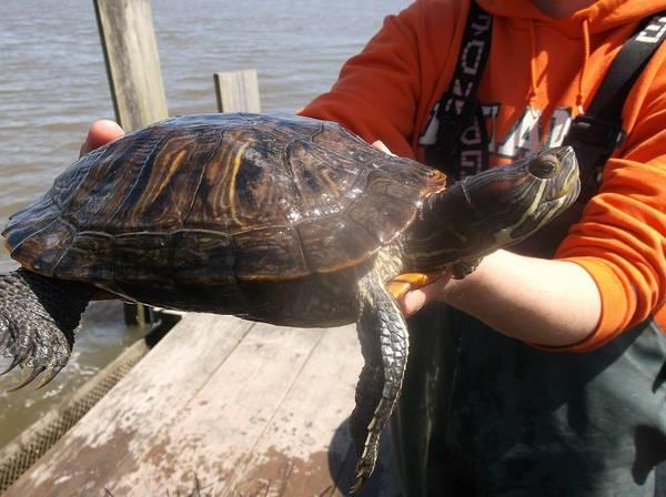 Большая красноухая черепаха фото (лат. Trachemys scripta elegans)