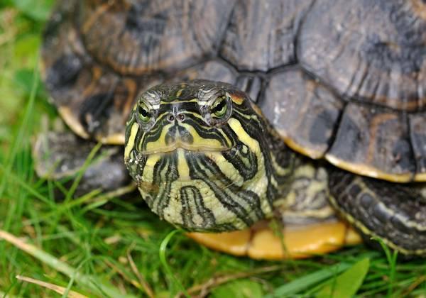 Глаза черепахи Труста фото (лат. Trachemys scripta troostii)