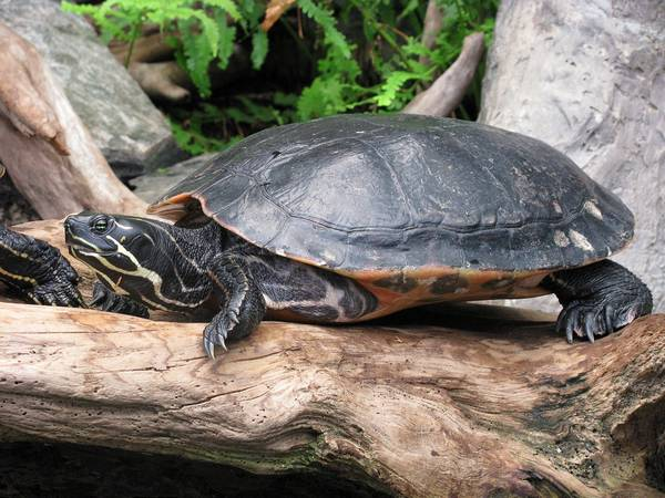 Желтобрюхая черепаха фото (лат. Trachemys scripta scripta)