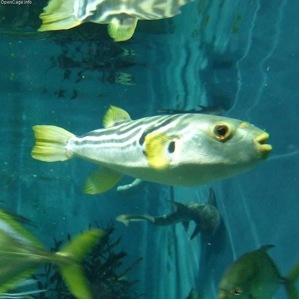 Желтопёрая рыба-собака фото (лат. Takifugu xanthopterus)