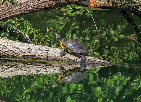Красноухая пресноводная черепаха в дикой природе фото (лат. Trachemys scripta elegans)