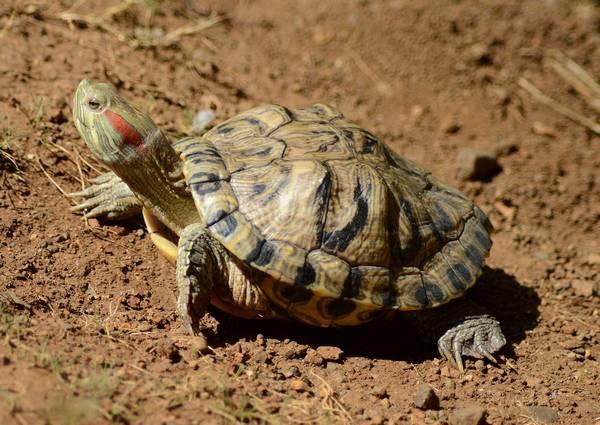 Красноухая пресноводная черепаха фото (лат. Trachemys scripta elegans)