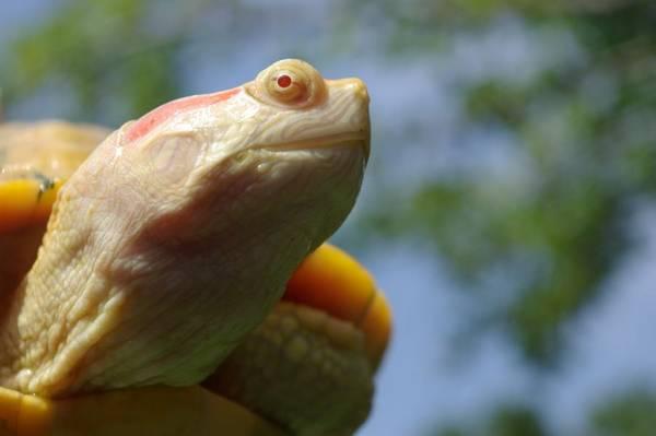 Красноухая черепаха альбинос фото (лат. Trachemys scripta elegans)