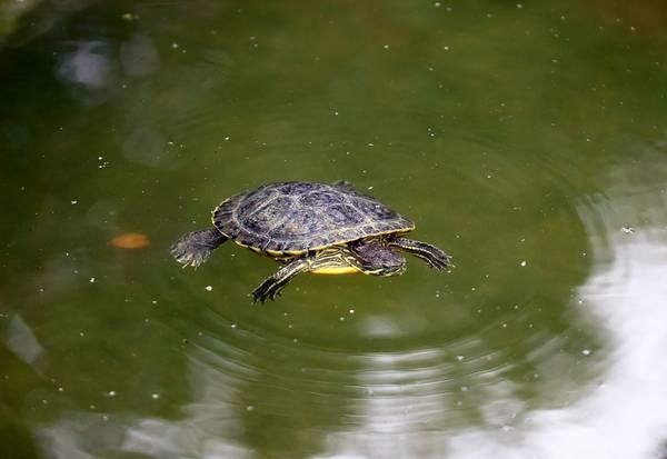 Красноухая черепаха плывет в воде фото (лат. Trachemys scripta elegans)