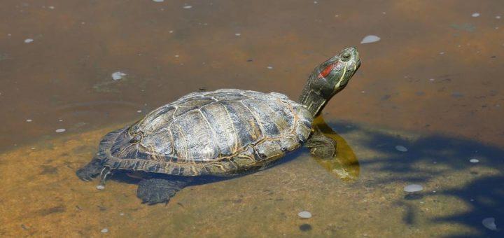Красноухая черепаха фото (лат. Trachemys scripta elegans)