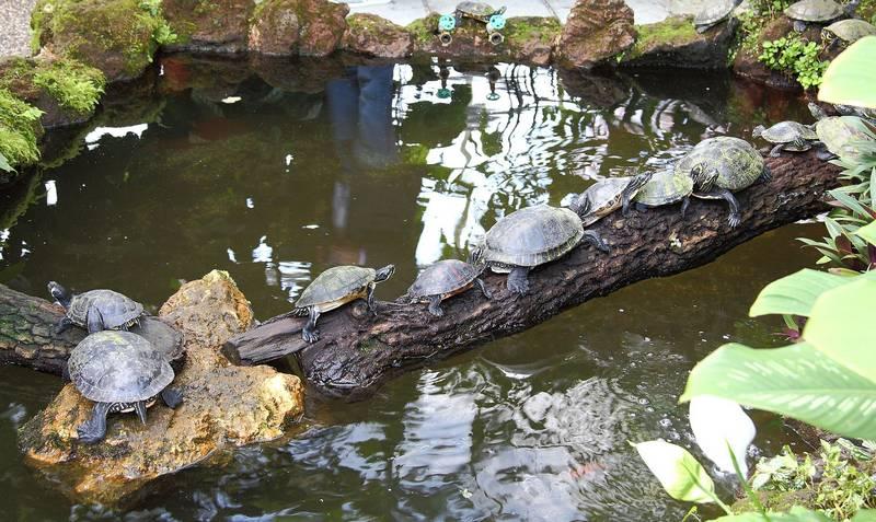 Красноухие пресноводные черепахи в дикой природе фото (лат. Trachemys scripta elegans)