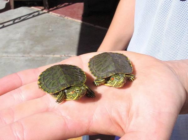 Маленькие красноухие черепахи фото (лат. Trachemys scripta elegans)