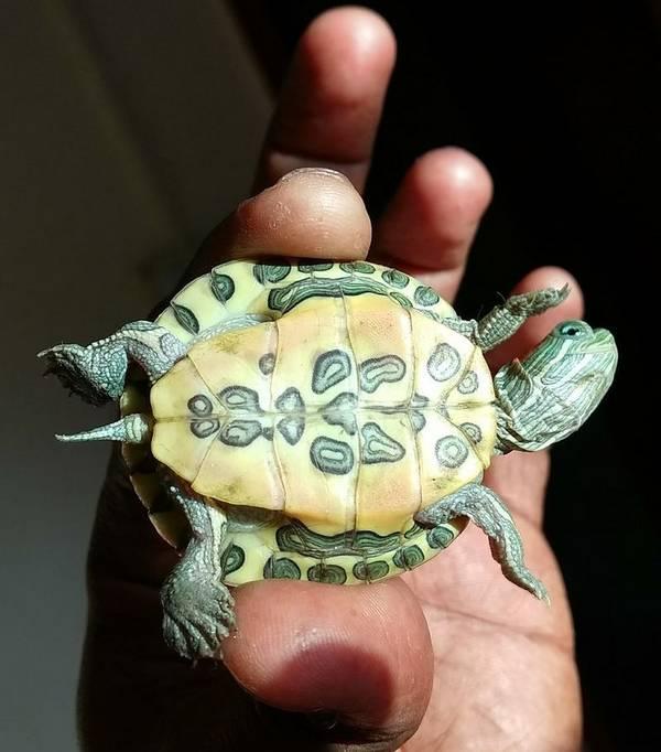 Панцирь молодой красноухой пресноводной черепахи (вид снизу) фото (лат. Trachemys scripta elegans)