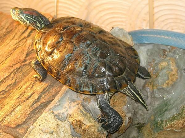 Панцирь флоридской черепахи (вид сверху) фото (лат. Trachemys scripta elegans)