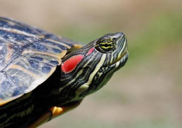 Пятна на голове красноухой пресноводной черепахи фото (лат. Trachemys scripta elegans)
