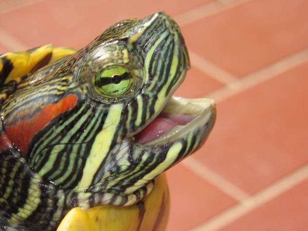Рот красноухой черепахи фото (лат. Trachemys scripta elegans)