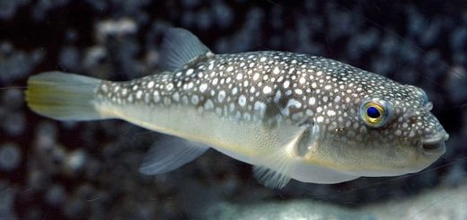 Рыба фугу фото (лат. Takifugu poecilonotus)