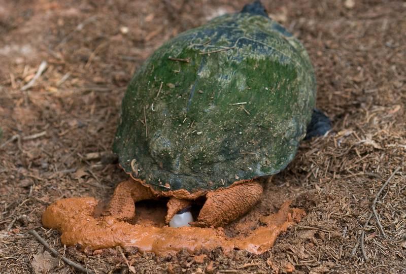 Самка красноухой черепахи откладывает яйцо фото (лат. Trachemys scripta elegans)