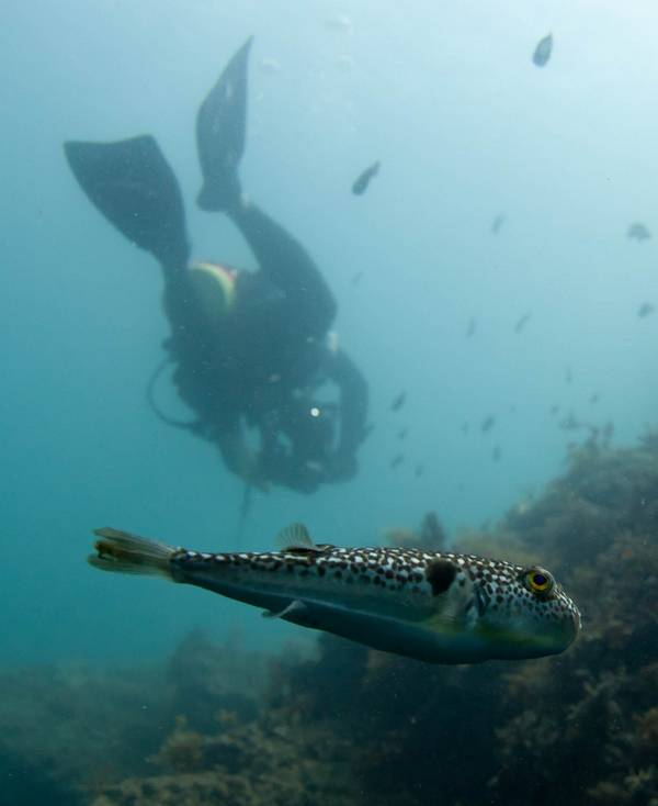 Такифугу в море фото (лат. Takifugu niphobles)