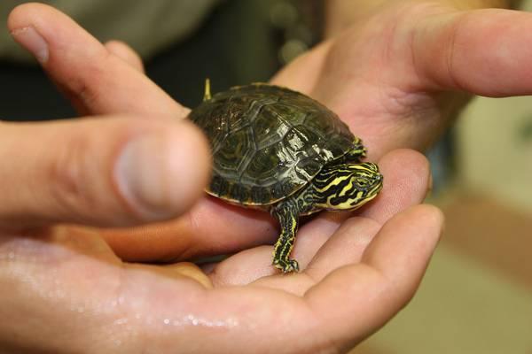 Домашняя красноухая черепаха фото (лат. Trachemys scripta)