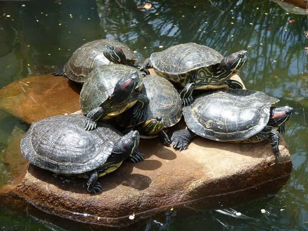 Как выглядят красноухие черепахи фото (лат. Trachemys scripta elegans)