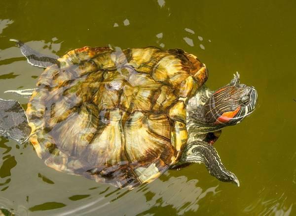 Красноухая черепаха в реке фото (лат. Trachemys scripta elegans)