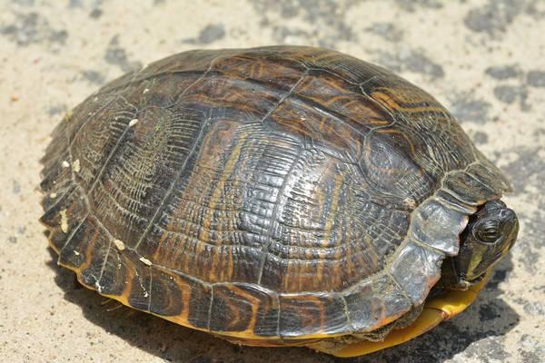 Красноухая черепаха спряталась в панцире фото (лат. Trachemys scripta scripta)