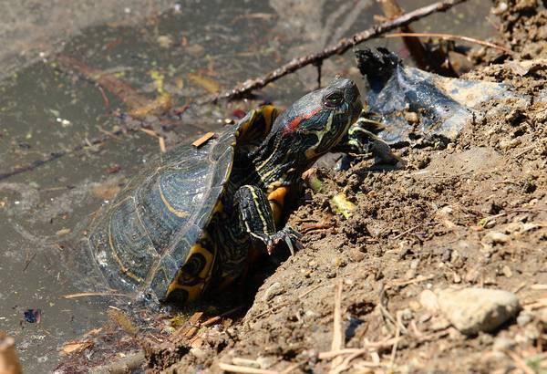 Красноухая черепашка пытается вылезти из воды фото (лат. Trachemys scripta)