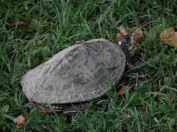 Линька красноухой черепахи фото (лат. Trachemys scripta)