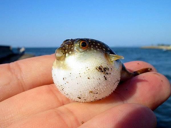Надутая смешная рыба фугу фото (лат. Takifugu niphobles)