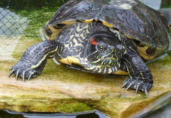 Перепонки между пальцами красноухой черепахи (лат. Trachemys scripta elegans)