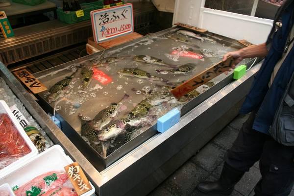 Рыба фугу в магазине в Японии фото (лат. Takifugu rubripes)