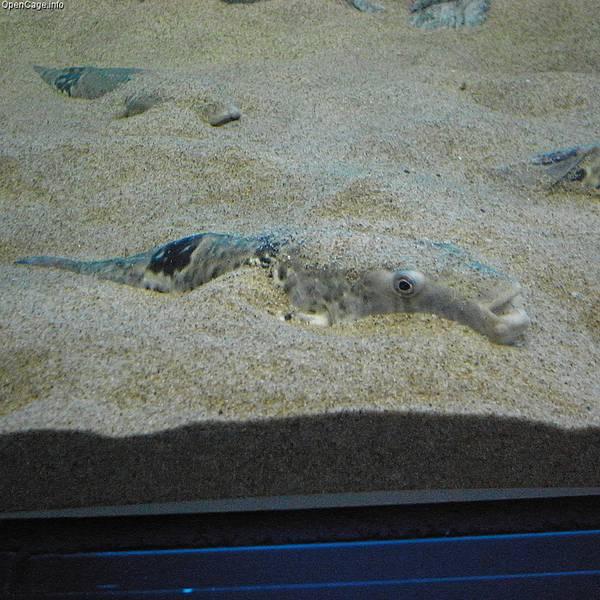 Такифугу в песке на дне аквариума фото (лат. Takifugu rubripes)