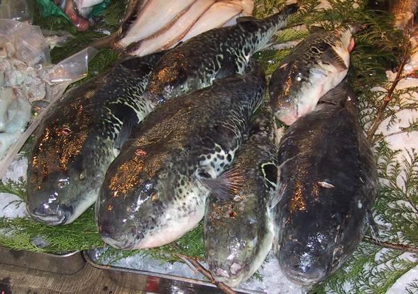 Фугу на льду в магазине фото (лат. Takifugu rubripes)