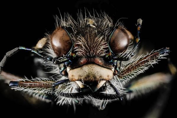 Глаза жужелицы Cicindela tranquebarica фото