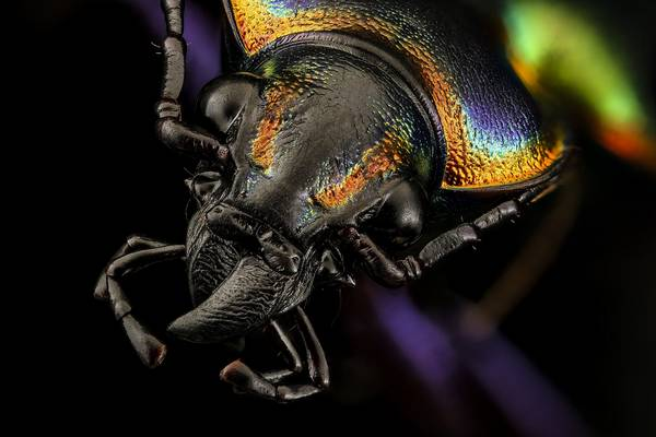 Голова жужелицы Calosoma scrutator фото