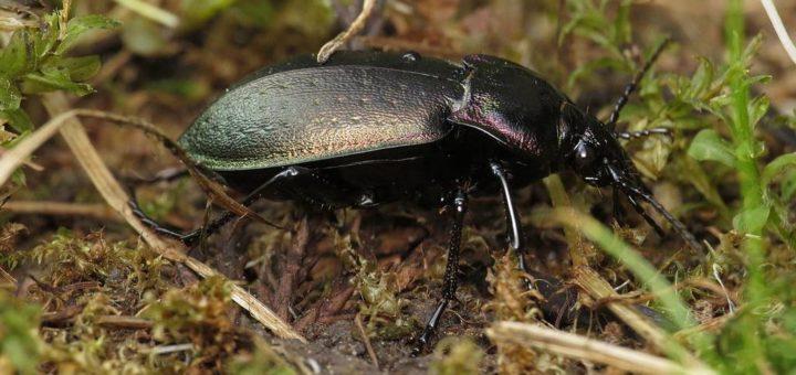 Жужелица лесная фото (лат. Carabus nemoralis)