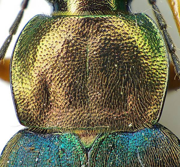 Переднеспинка жужелицы Chlaeniellus nigricornis фото