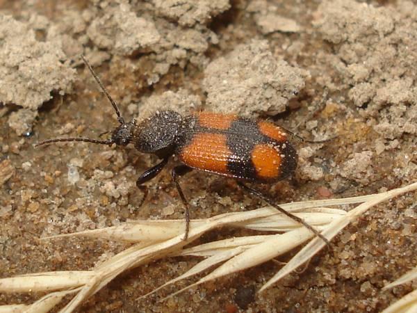 Большой шееголов фото (лат. Panagaeus cruxmajor)