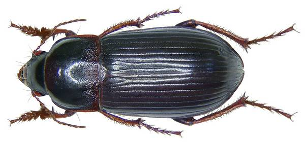 Жужелица хлебная фото (лат. Zabrus tenebrioides)