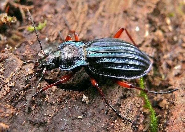 Жужелица Chrysocarabus auronitens с красными конечностями фото