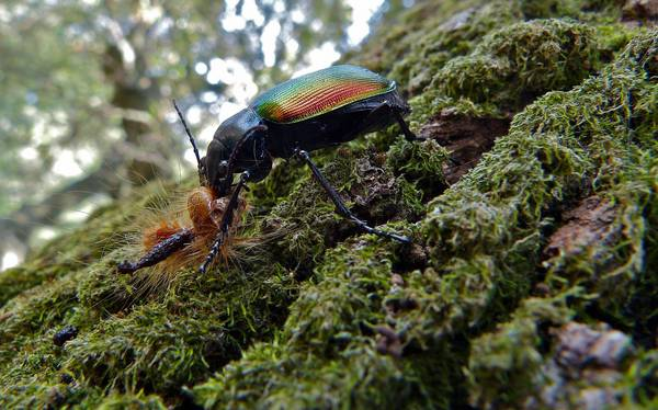 Красотел пахучий ест гусеницу фото (лат. Calosoma sycophanta)