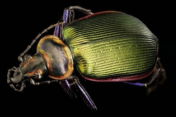 Радужный отлив жужелицы Calosoma scrutator фото