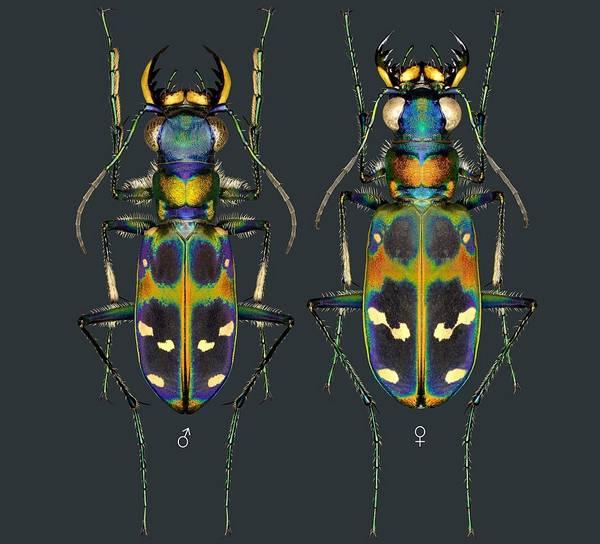 Самец и самка Cicindela chinensis japonica фото