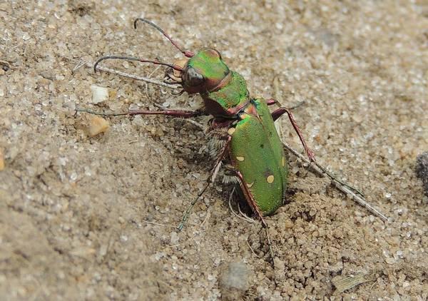 Скакун полевой предположительно откладывает яйца в песок фото (лат. Cicindela campestris)