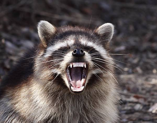 Зубы енота-полоскуна фото (лат. Procyon lotor)