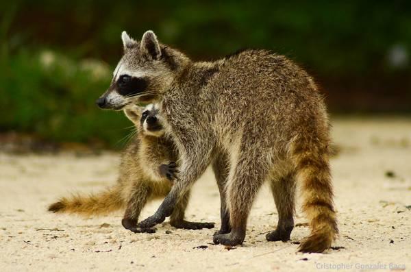 Мамочка с детенышем енота-полоскуна фото (лат. Procyon lotor)