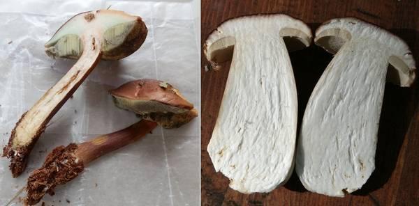 Отличие польского гриба (Boletus badius, Imleria badia) от боровика (Boletus edulis) фото