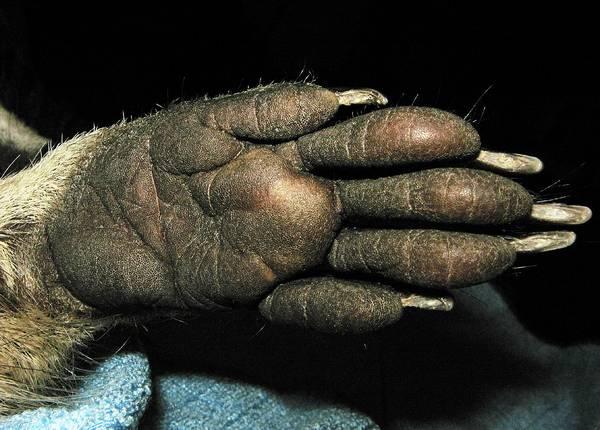 Передняя лапа енота-полоскуна фото (лат. Procyon lotor)