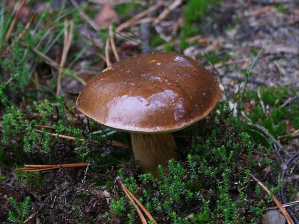 Польский гриб в лесной подстилке фото (Boletus badius, Imleria badia)